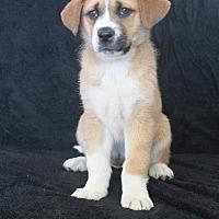 Adopt A Pet :: Darla - Wichita, KS