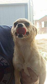 Chihuahua Mix Dog for adoption in Lancaster, California - Munchkin