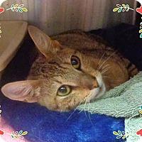 Domestic Shorthair Cat for adoption in Marietta, Georgia - VICTORIA