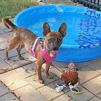 Chihuahua Mix Dog for adoption in Holliston, Massachusetts - Shasta
