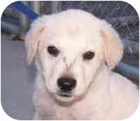 Labrador Retriever Mix Puppy for adoption in Marion, Arkansas - SAMMIE