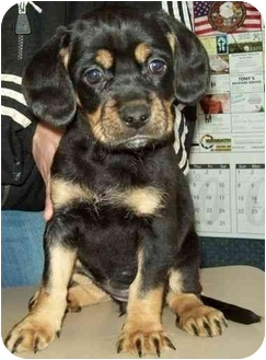 Boxer Mix Puppy for adoption in North Judson, Indiana - Dakota