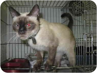 Siamese Cat for adoption in Henderson, North Carolina - Reese