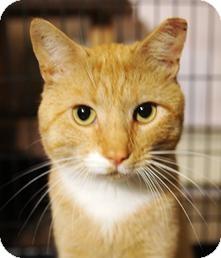 Domestic Shorthair Cat for adoption in Medford, Massachusetts - Cinnamon