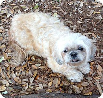 Shih Tzu Dog for adoption in Davie, Florida - Peaches