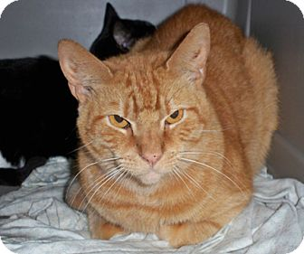 Domestic Shorthair Cat for adoption in bloomfield, New Jersey - Nikki