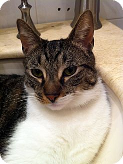 American Shorthair Cat for adoption in Brooklyn, New York - Volpino
