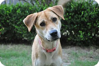 Black Mouth Cur/Basenji Mix Dog for adoption in Bedminster, New Jersey - MAYBELLINE/Summer Pricing