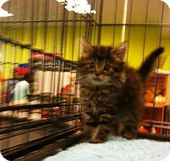 Maine Coon Kitten for adoption in Cerritos, California - Tiffany