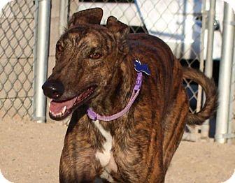 Greyhound Dog for adoption in Tucson, Arizona - Motion