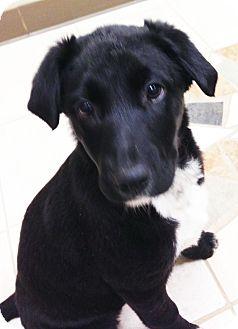 Border Collie/Labrador Retriever Mix Puppy for adoption in Schaumburg, Illinois - Daisy