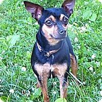 Adopt A Pet :: Belle - Mocksville, NC
