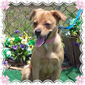Chihuahua Mix Dog for adoption in Marietta, Georgia - MOLLY