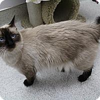 Adopt A Pet :: Amelia - Newport Beach, CA