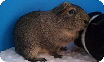 Guinea Pig for adoption in Aurora, Colorado - Captain Cactus