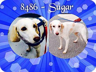 Labrador Retriever/Hound (Unknown Type) Mix Dog for adoption in Dillon, South Carolina - Sugar