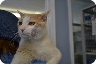Domestic Shorthair Cat for adoption in Edwardsville, Illinois - Allen