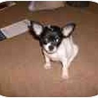 Chihuahua/Shih Tzu Mix Dog for adoption in Katy, Texas - Daisy