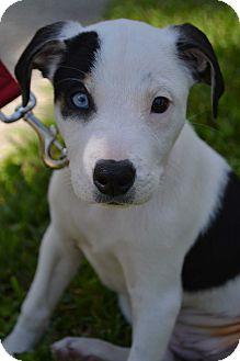Border Collie Mix Puppy for adoption in Toledo, Ohio - Harley