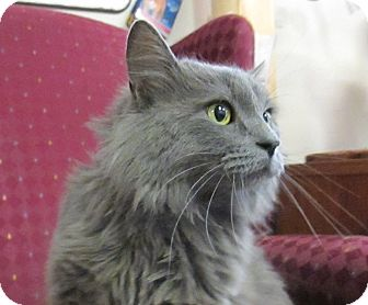 Domestic Longhair Cat for adoption in Lloydminster, Alberta - Egor