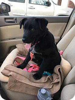 Australian Shepherd/Labrador Retriever Mix Puppy for adoption in Branson, Missouri - Superman