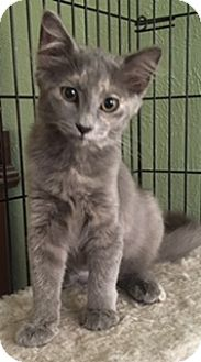 Maine Coon Kitten for adoption in Houston, Texas - Stormy