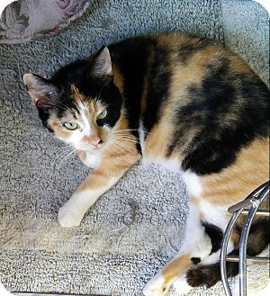 Domestic Shorthair Cat for adoption in Albion, New York - CiCi