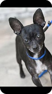 Rat Terrier/Chihuahua Mix Puppy for adoption in Huntington Beach, California - Vader