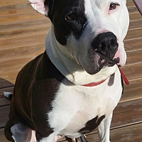 Pit Bull Terrier Dog for adoption in Concord, Ohio - Jenna