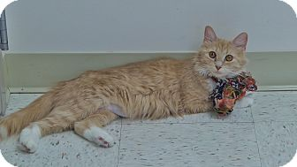 Domestic Mediumhair Cat for adoption in Chambersburg, Pennsylvania - Rubarb