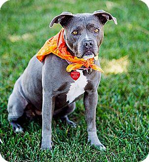 American Staffordshire Terrier/Boxer Mix Dog for adoption in Vista, California - Fern