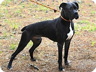 Boxer Dog for adoption in Houston, Texas - ROLLO