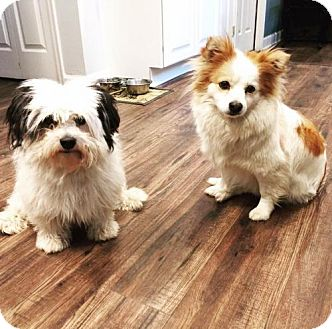 Shih Tzu/Parson Russell Terrier Mix Dog for adoption in Centreville, Virginia - Sasha & Domino