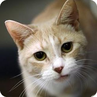 Domestic Shorthair Cat for adoption in Hilliard, Ohio - Maggie