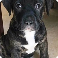 American Staffordshire Terrier Mix Puppy for adoption in San Diego, California - Toledo
