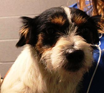Schnauzer (Standard)/Terrier (Unknown Type, Medium) Mix Puppy for adoption in Oswego, Illinois - Delilah