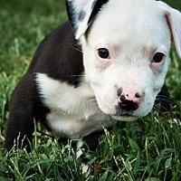 Adopt A Pet :: Draco - Nashville, TN