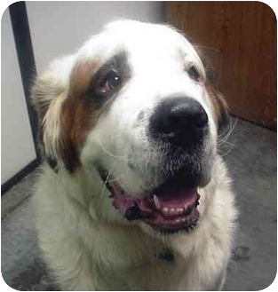 St. Bernard Dog for adoption in Manassas, Virginia - Bumper