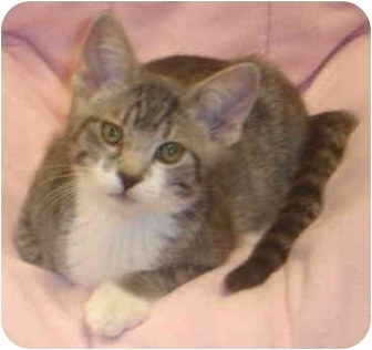 Domestic Shorthair Kitten for adoption in San Diego, California - Trent