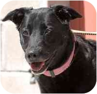 Labrador Retriever Mix Dog for adoption in Denver, Colorado - Shante