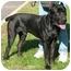 Photo 3 - Cane Corso Dog for adoption in New York, New York - Ben-NJ