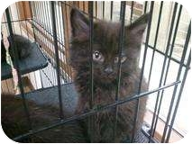 Domestic Longhair Kitten for adoption in Romulus, Michigan - DUSKY