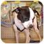 Photo 1 - Chihuahua/Boston Terrier Mix Puppy for adoption in Umatilla, Florida - Trevor