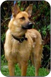 Belgian Malinois Dog for adoption in Roswell, Georgia - Lady (Guest)