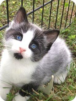 American Shorthair Kitten for adoption in Spring Valley, New York - Melmen
