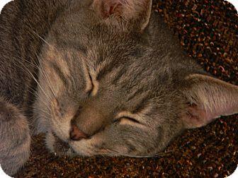 Domestic Shorthair Cat for adoption in Cincinnati, Ohio - Malcolm
