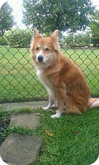 Collie/Shiba Inu Mix Dog for adoption in Orland Park, Illinois - Foxy