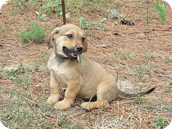 Labrador Retriever/Basset Hound Mix Puppy for adoption in Conway, New Hampshire - Mabel