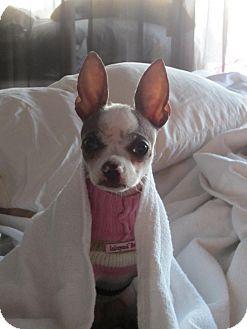 Chihuahua/Italian Greyhound Mix Dog for adoption in San Diego, California - Della