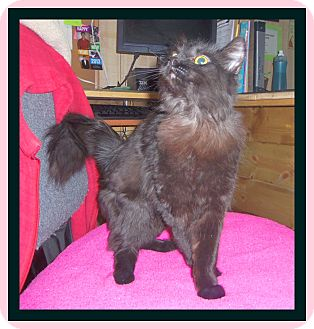 Norwegian Forest Cat Cat for adoption in Medford, Wisconsin - SHADOW II (the second)